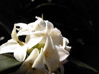 沈丁花2種