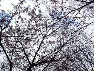 ここにも桜