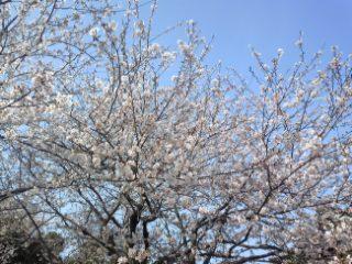 近所の寺にて桜が満開