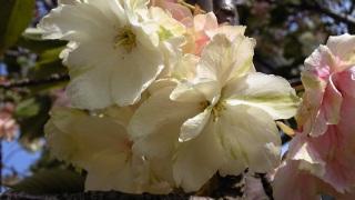 八重桜が咲いていた