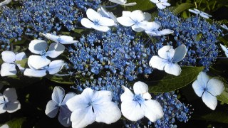 公園の額紫陽花