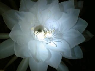 月下美人の花 23時15分現在 妖艶な美しさ