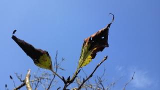 桜の葉もだいぶ落ちている