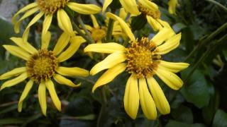 つわぶきの花
