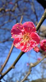 紅梅が咲きはじめた(<br />  紅梅の写真)