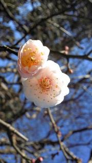 梅が咲きはじめた(<br />  梅の写真)