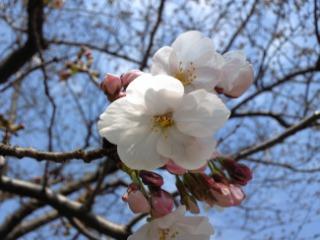近所でも桜(<br />  ソメイヨシノ)<br />  が咲きはじめた