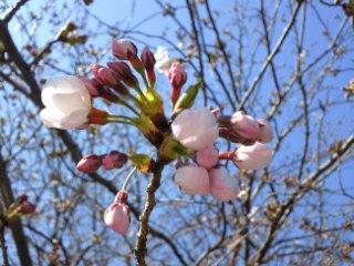 近所の寺の桜、咲きはじめた