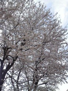 投票所近くの桜、満開に近い