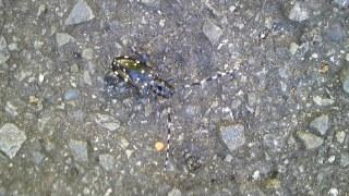 道路にカミキリ虫
