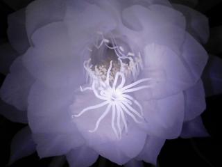 月下美人が咲く 2012年8月13日 妖艶な美しさ