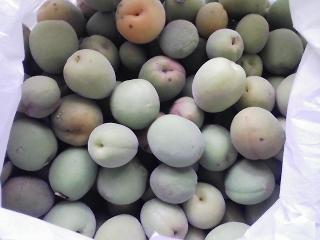 庭木の梅の実の収穫