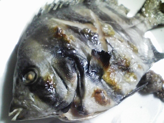 本日の晩ご飯のおかずの写真 神奈川の三崎産石鯛の塩焼き、庭木の梅干しなど
